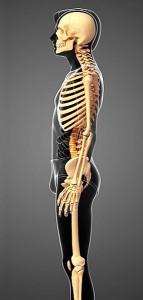 図3 背骨の位置 身体の表面を描いてみると、背骨はかなり腹よりにある。